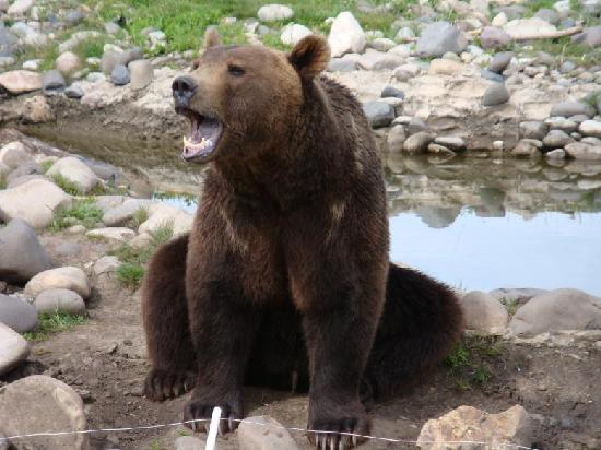 Montana Grizzly Encounter: Grizzly Encounter
