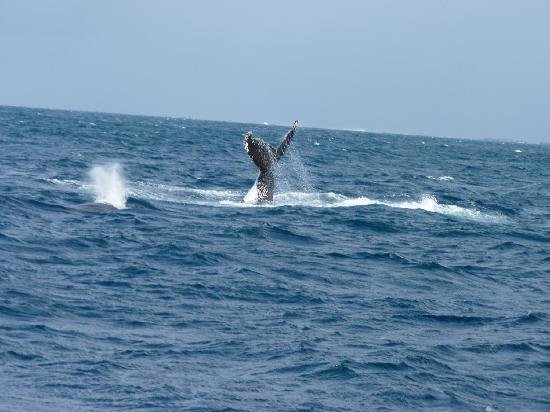 Dunsborough, Australia: humpback whales tail slapping - right near our boat!