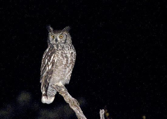 Shindzela Tented Camp: Spotted Eagle Owl