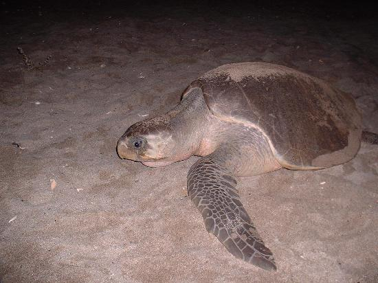 El Pacifico Hotel: Olive Ridley Sea Turtle