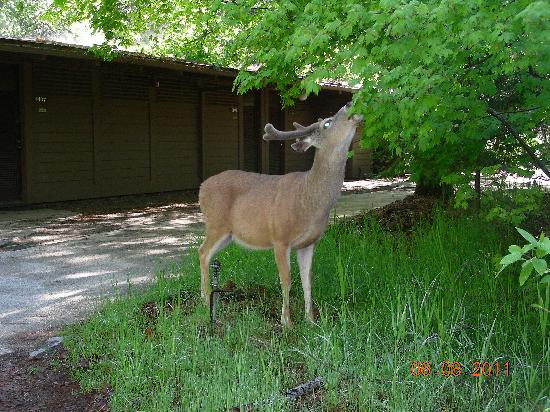 Yosemite Valley Lodge : Deer- right outside our room