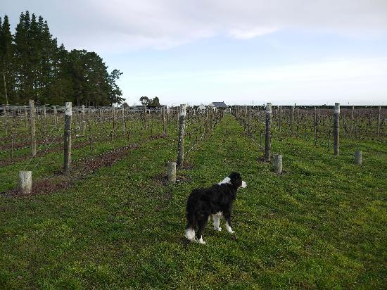 Dunnolly Cottage: Vineyard and resident dog