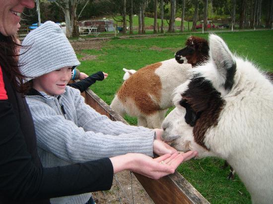 Mingary Farmstay B&B Accommodation: feeding the alpaca;s