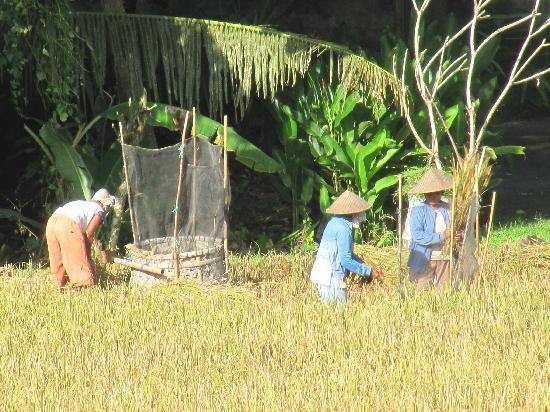 Alam Shanti: Rice harvest