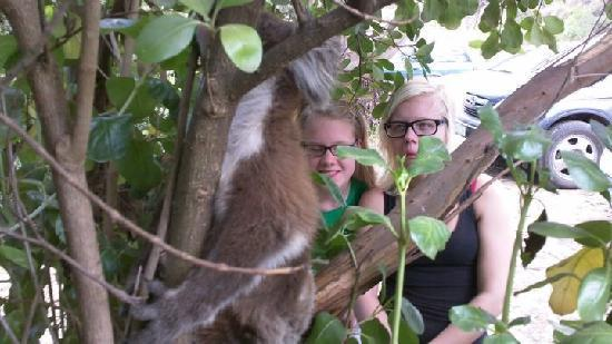 Natural Treasures Tour - Day Tours: You dont get any closer to a wild koala than this.