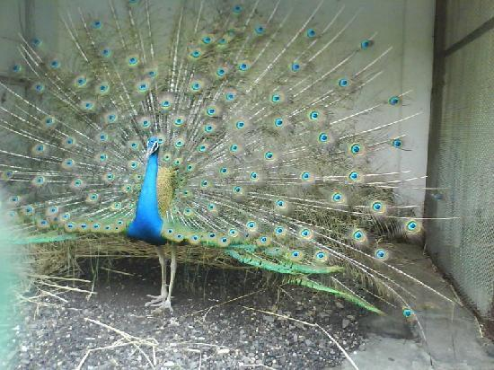 Panvel, India: Peacock in Karnala Bird Sanctuary