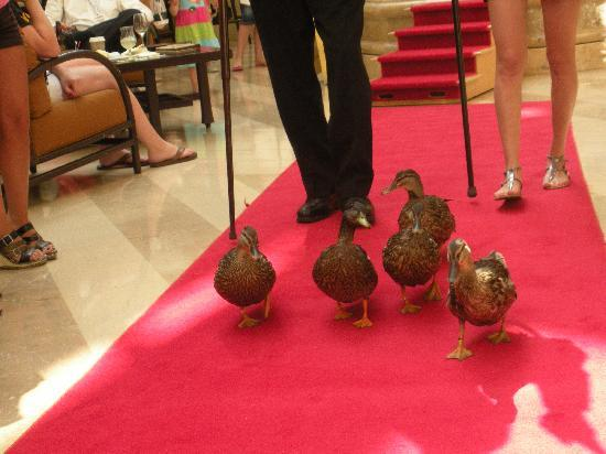 Hyatt Regency Orlando : Peabody Ducks marching the red carpet!