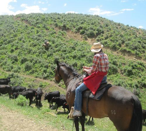 Steamboat Springs, CO: Herding cattle