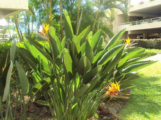 Maui Banyan Condos: Birds of Paradise at Maui Banyan