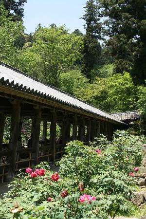 Hasedera Temple: 牡丹が見頃でした。