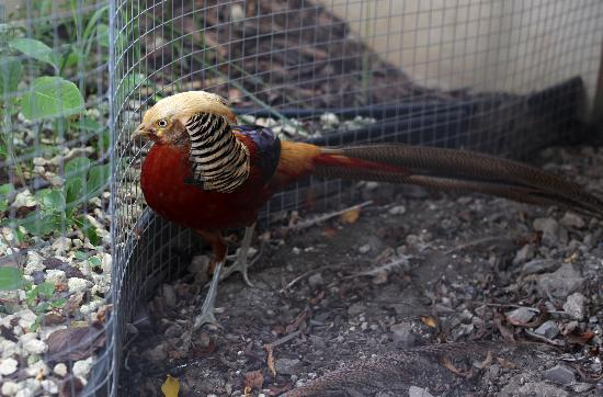 Blue Boy Inn: Golden Pheasant on the property
