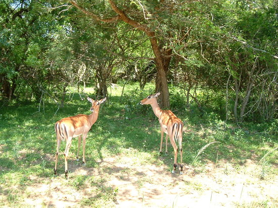 Hluhluwe, Sudafrica: Impala near the lodge