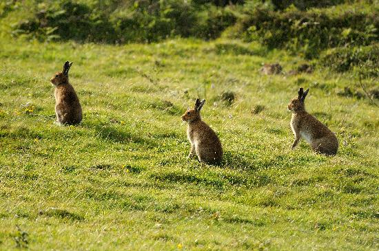 Rathlin Island, UK: Rathlin Hares