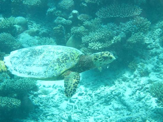 Six Senses Laamu: lots of turtles nearby