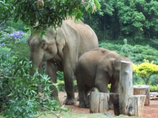 Fringe Ford: Elephants in front of my window eating mangoes from the Mango tree