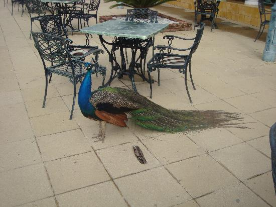 Iberostar Costa Dorada: pecock