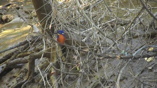 Daintree, Australia: kingfisher