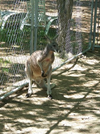 Sweetwater, TN: Jack our Red Kangaroo
