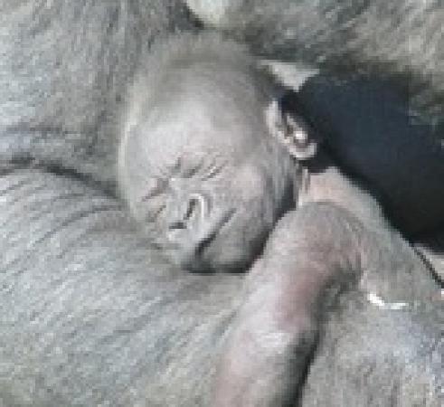 Atherstone, UK: Baby Gorilla Okanada