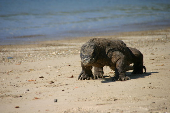 Komodo National Park, Indonesien: Komodovaran