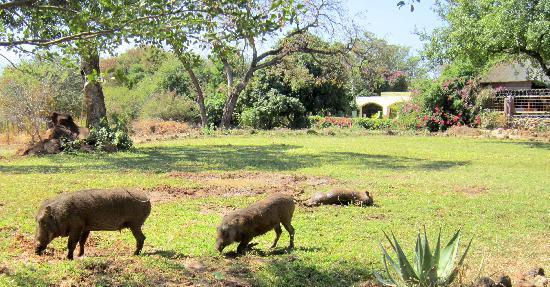 Water Lily Lodge: Warzenschweine vor der Lodge