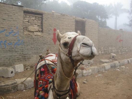 Ayman Ahmed - Tour Guide: Cute camel