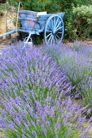 Old Wagon with lavender greets you as you enter La Ferme de la Huppe