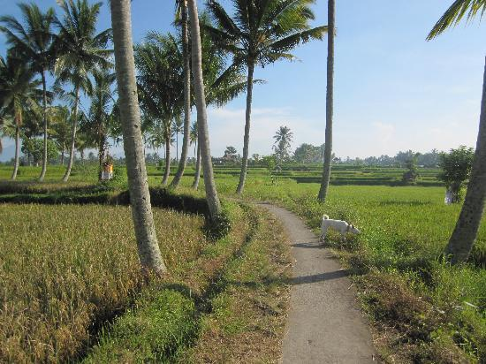Sawah Sunrise Bed & Breakfast: Rice field walk behind Sawah sunrise