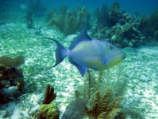 Off The Wall Dive Center & Resort: My favorite, the queen triggerfish, very plentiful