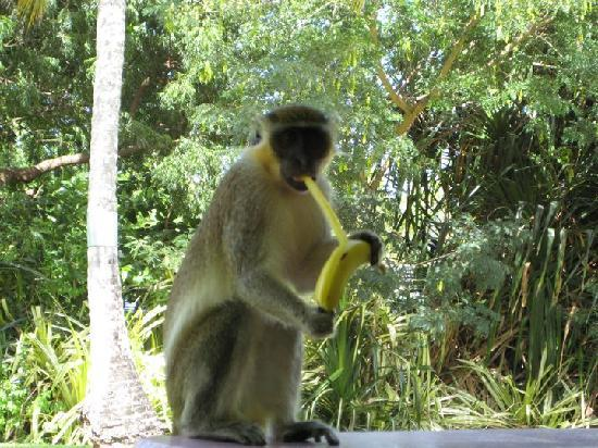 All Seasons Resort Europa: a green monkey visiting us for breakfast