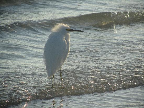 Sanibel Island, FL: he posed for me
