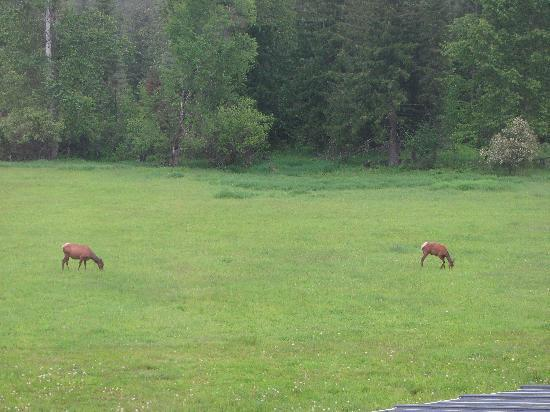 Amber Bear Inn : Elk in the front yard