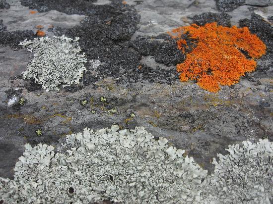 Île aux Lièvres: Lichens