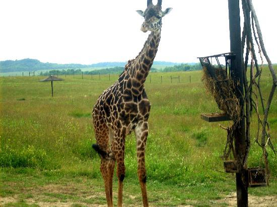 The Wilds: Giraffe