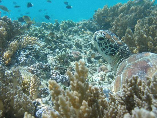 Celebes Beach Resort: Lots of Green Turtles