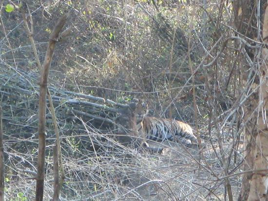 The Serai Kabini : This tiger satyed put for over 30 minutes.. roared and even rolled over...