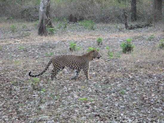 The Serai Kabini : Spotted this leopard on Day 1