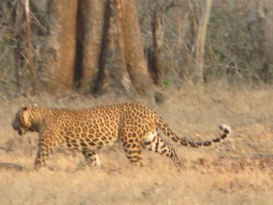 The Serai Kabini : Another leopard on Day 3