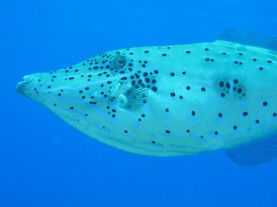 Blue Bubble Divers: Scrawled filefish in very clear water