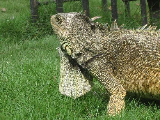 Guayaquil, Ecuador: Iguana im Parque Bolivar