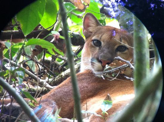 Sirena Ranger Station: The Puma!