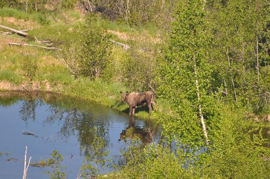 Talkeetna Denali View Lodge & Cabins: Mama Moose