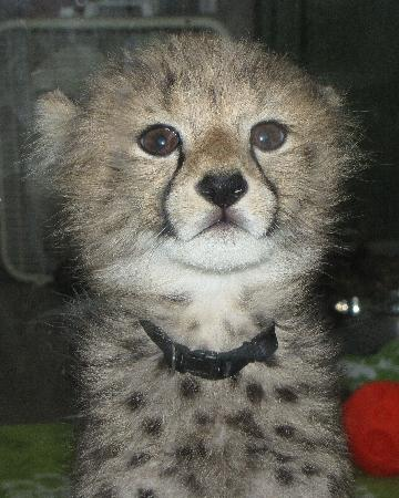Busch Gardens Tampa: Kasi, their baby cheetah, about 7 or 8 weeks old