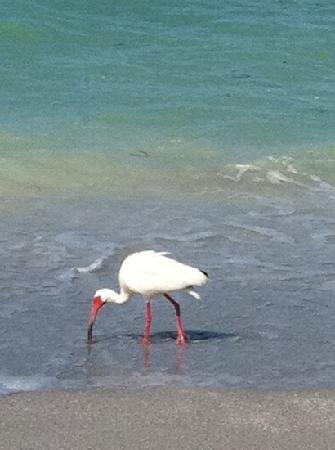 Periwinkle Cottages of Sanibel: Hungry ibis