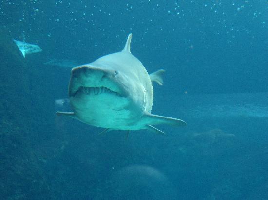 Cretaquarium Thalassocosmos: Sand Shark