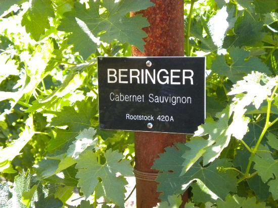 Beringer Vineyards: Grapes at Beringer