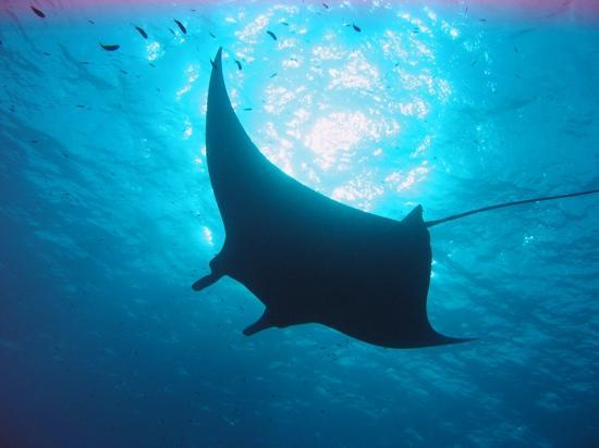 Avillion Layang Layang: The mantas