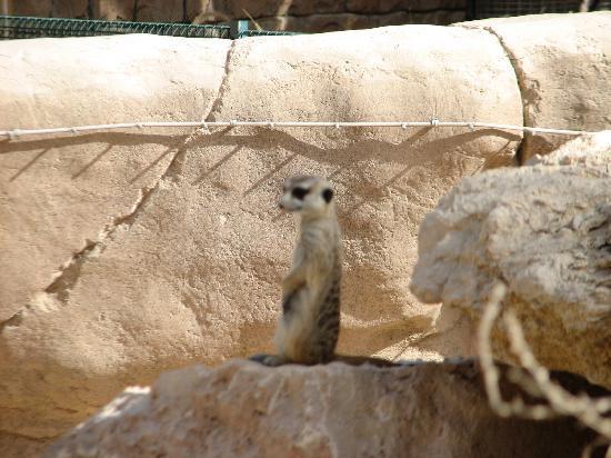 Al Ain Zoo: Happy little meerkat
