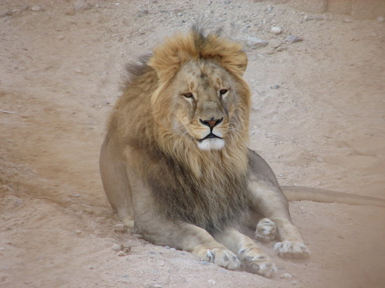 Al Ain, United Arab Emirates: Majestic lion