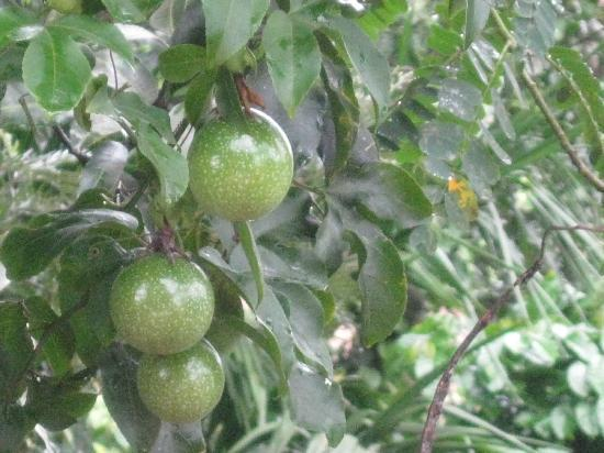 GreenLeaves Habitat: Passion fruit